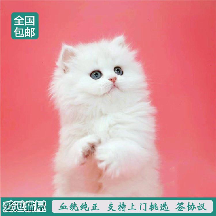 出售纯种波斯猫 加菲猫 活体宠物幼猫 异国短毛 包邮