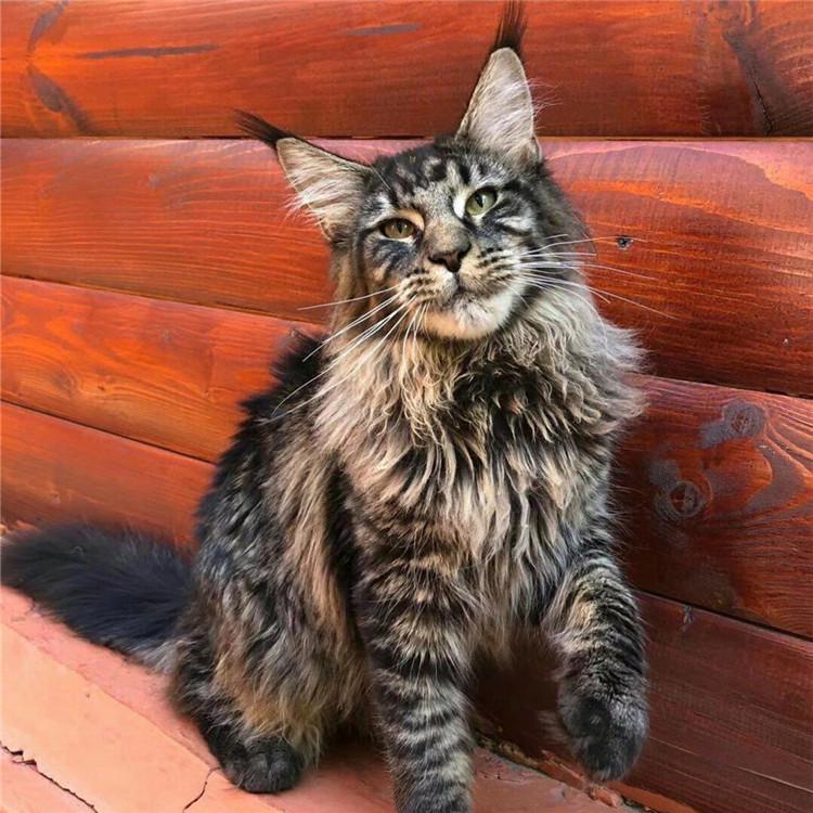 缅因猫活体红虎斑银虎斑棕虎斑巨型长毛猫缅因宠物猫挪威
