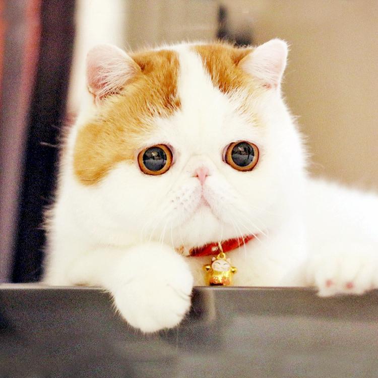 加菲猫活体幼猫 异国短毛猫 加菲猫活体 猫咪活体 加菲