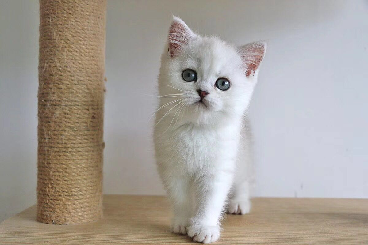 本地猫舍给爱宠找新家 出售英短美短均包纯种健康