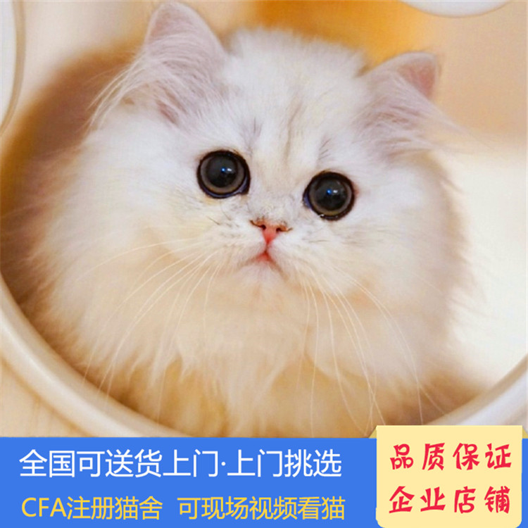正规CFA猫舍 纯种金吉拉 育苗齐全 包活签协议 送货上门