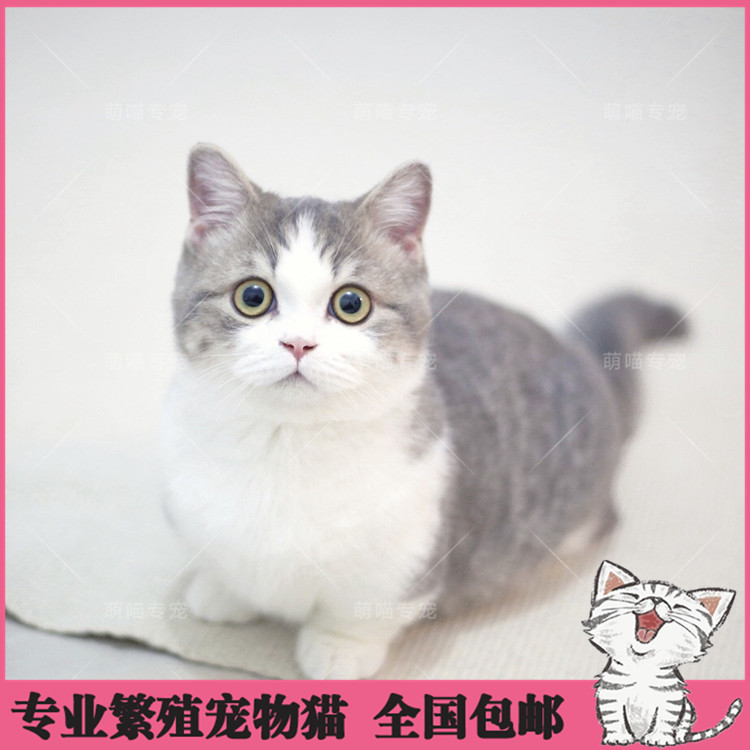 矮脚猫活体纯种拿破仑幼猫宠物猫CFA认证矮脚猫崽小短