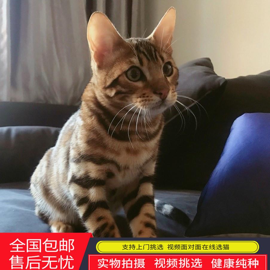 正规CFA猫舍 纯种豹猫 育苗齐全 包活签协议 可送货上门2