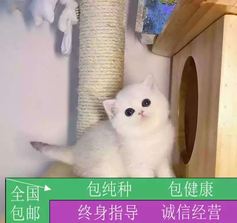 精品英国短毛蓝猫幼猫活体纯种家养宠物猫咪疫苗齐全