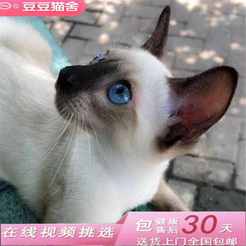 暹罗猫活体淡紫色幼猫纯种泰国猫皇室短毛猫家养宠物小猫