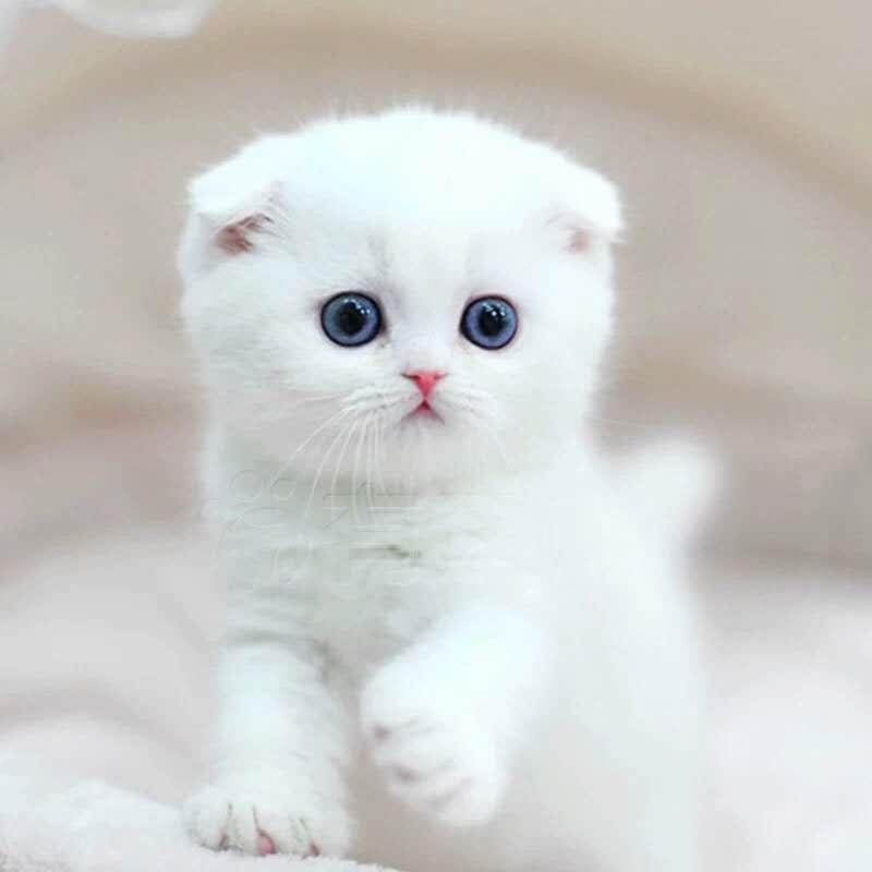 出售赛级苏格兰折耳猫英短折耳cfa猫舍活体幼猫纯种