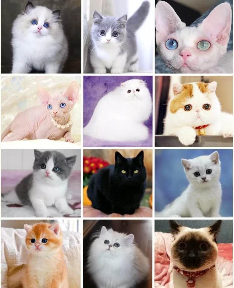猫舍出售纯种健康猫咪蓝色猫活体短毛英国猫幼猫折耳