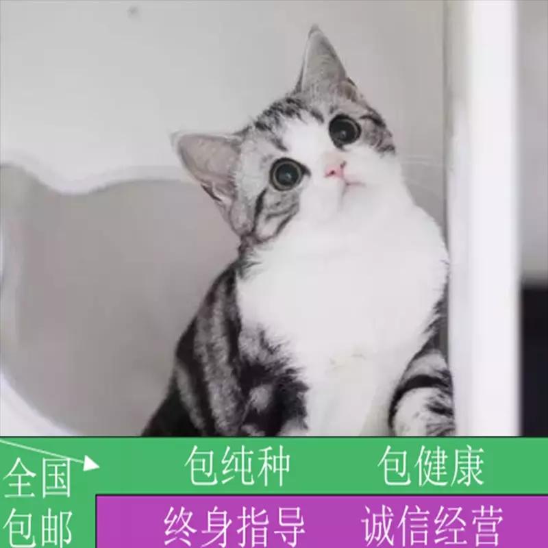 美短银虎斑美短加白起司猫美国短毛猫虎斑猫活体幼猫宠物猫纯种