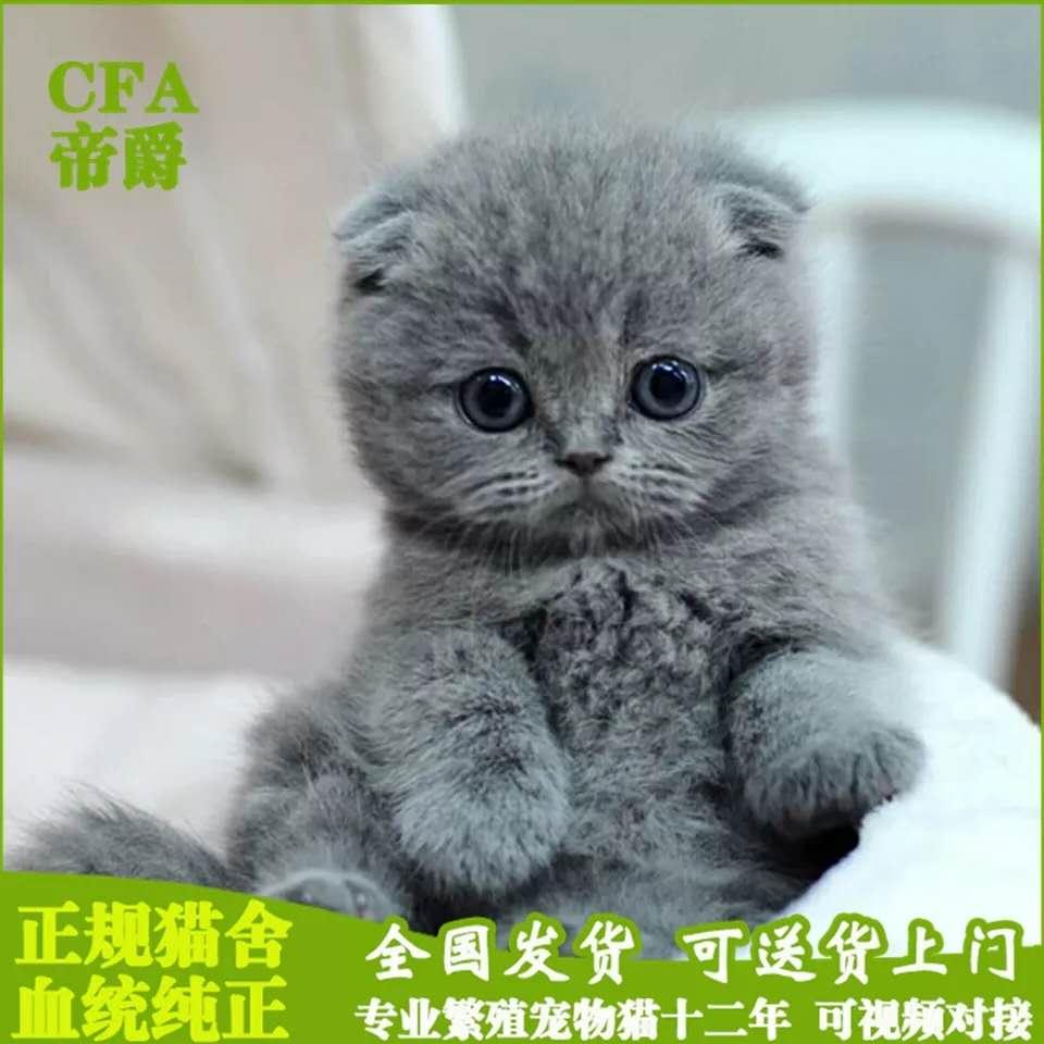 CFA会员纯种折耳猫 保障血统纯正疫苗驱虫完全到位