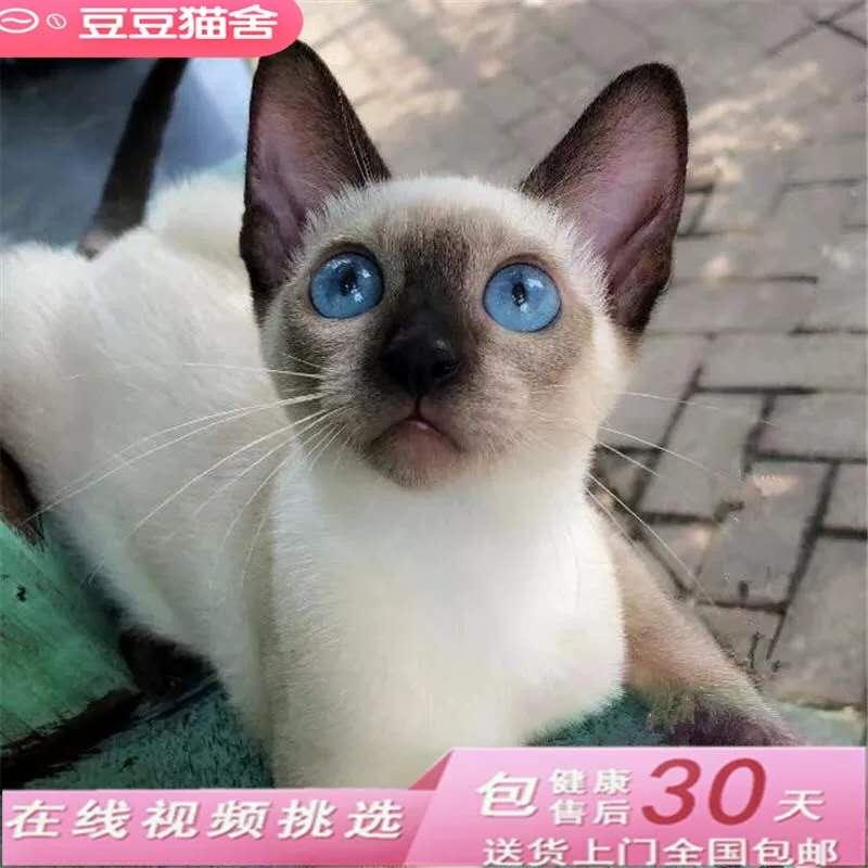 CFA会员纯种暹罗猫 保障血统纯正疫苗驱虫完全到位