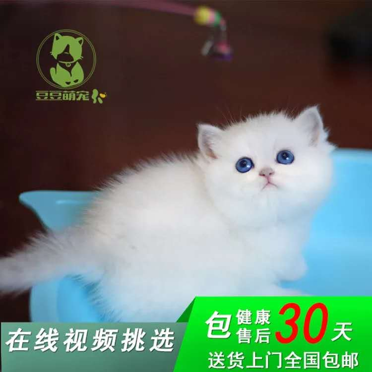 纯正英短品种,银渐层大包子脸蓝猫出售,疫苗已经做完