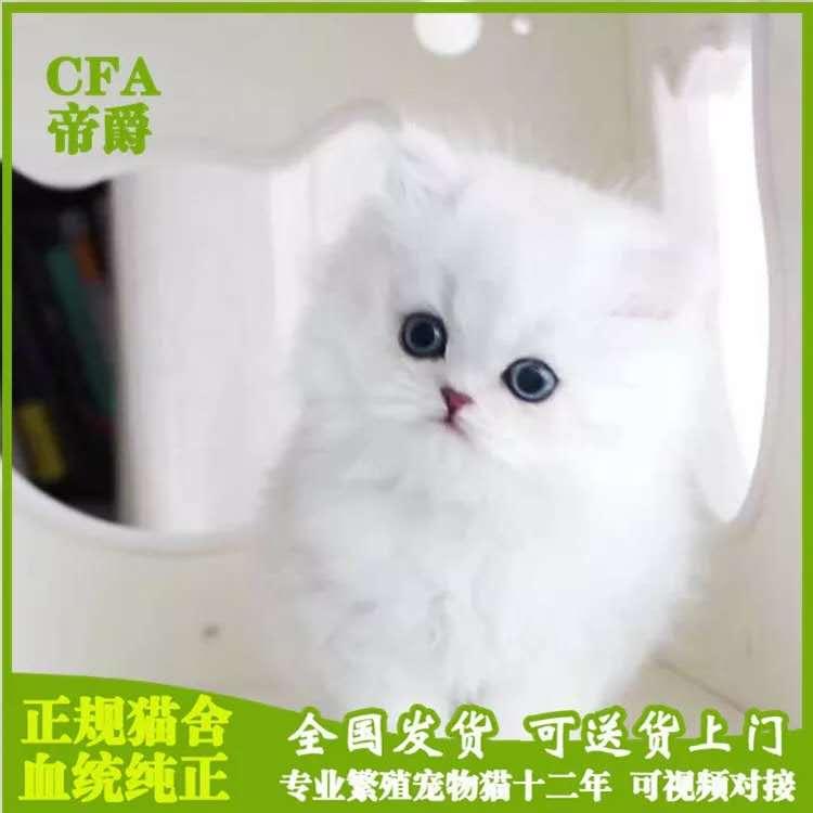 顶级金吉拉猫 保纯种健康 官网推荐猫舍 终身质保30天