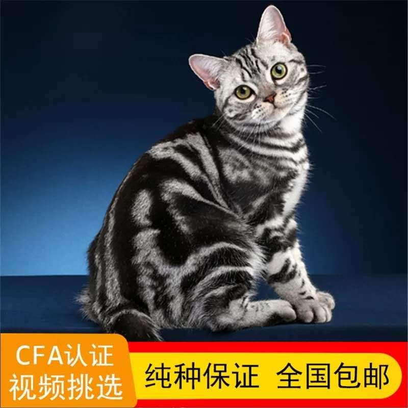 正规美国短毛猫猫舍、官网推荐猫舍、终身质保