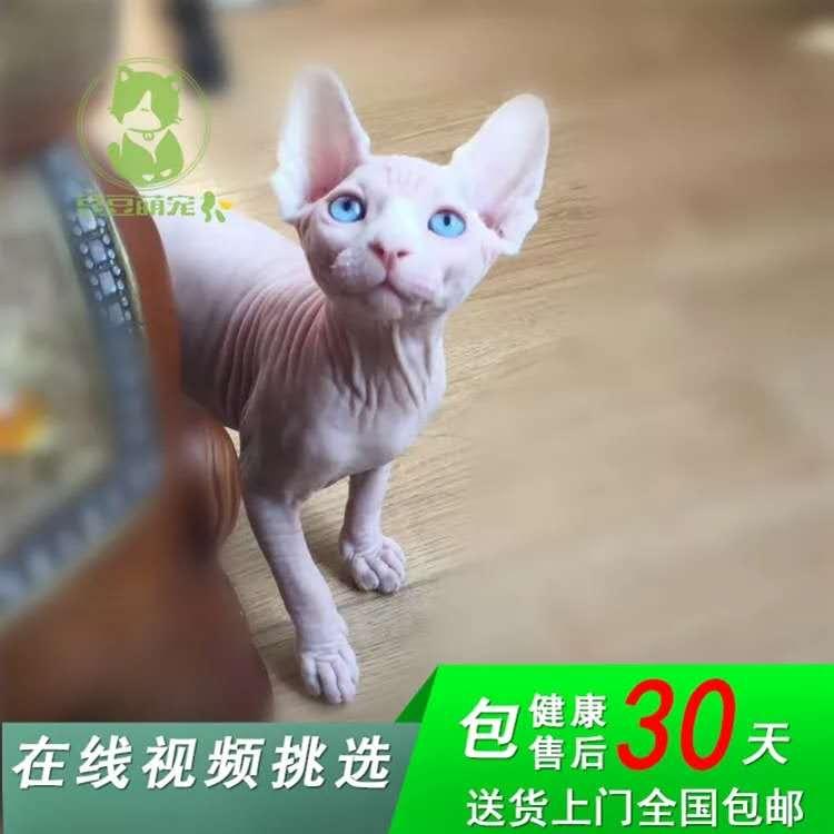 专业无毛猫繁殖猫舍、官网推荐猫舍、终身质保、签协议