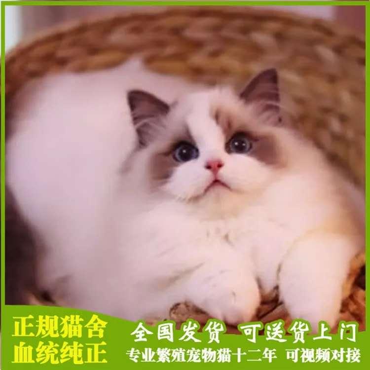 极品布偶猫出售中 正规猫舍 健康质保 官网认证
