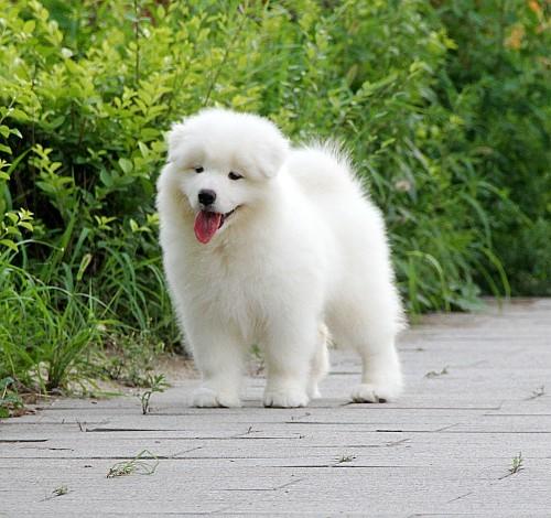 顶级犬舍热销纯种微笑天使萨摩耶 公母全可空运