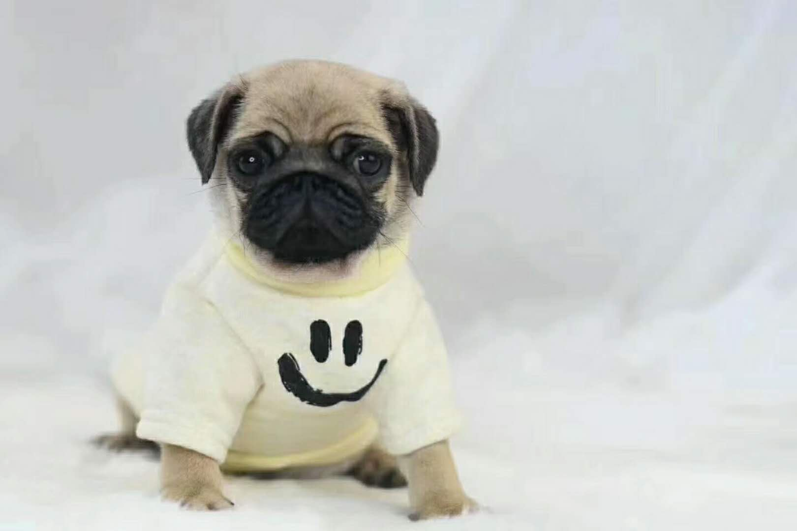 精品高品质巴哥犬幼犬热卖中价格美丽品质优良