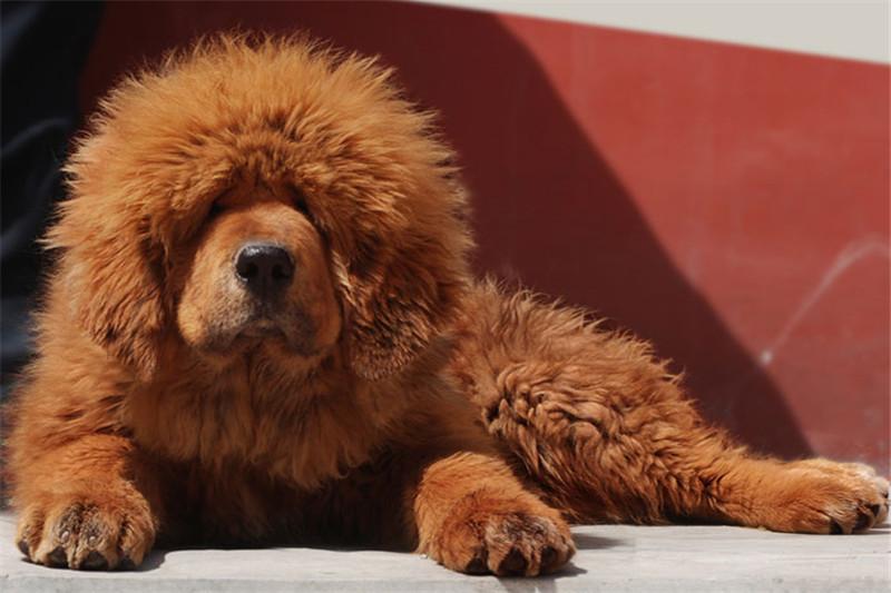 正规獒园出售纯种铁包金金獒幼犬 吊嘴吊眼 血统质保