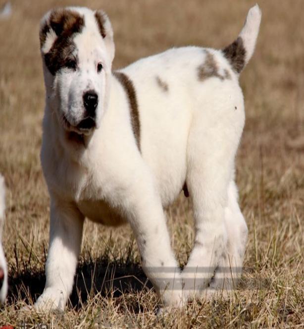 高品质中亚牧羊犬宝宝 完美品相 品质第一 质保健康90天
