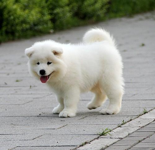 顶级犬舍热销纯种微笑天使萨摩耶 公母全可空运4