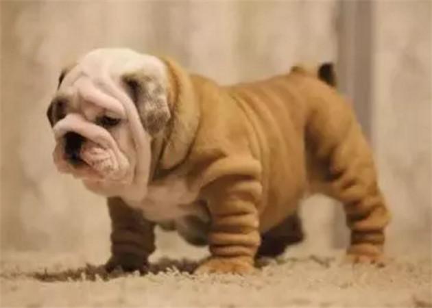 英国斗牛犬宝宝热销中、假一赔十价位最低、购买保障售后