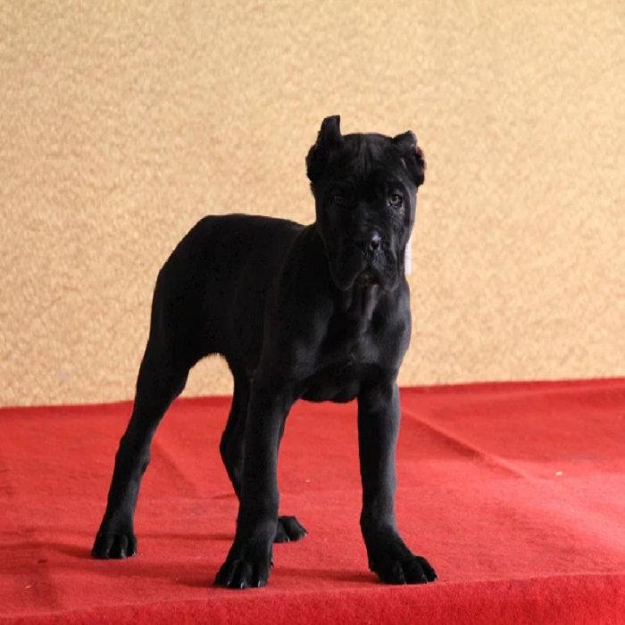 直销卡斯罗犬幼犬,实物拍摄直接视频,等您接它回家