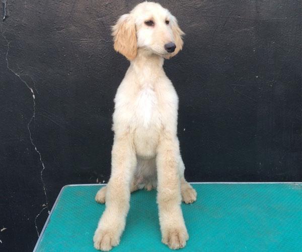 顶级繁殖基地引进名贵种公繁殖更优秀的阿富汗猎犬