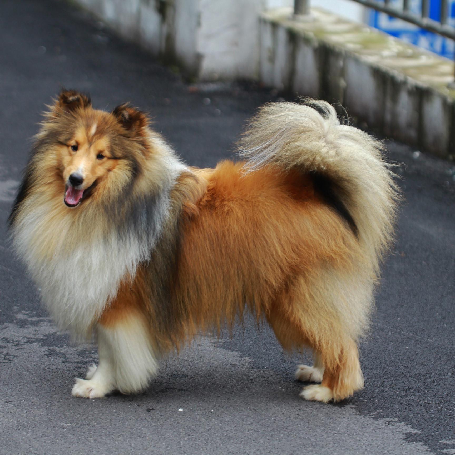 高智商喜乐蒂犬 品质第一 我们最专业 送宠物用品