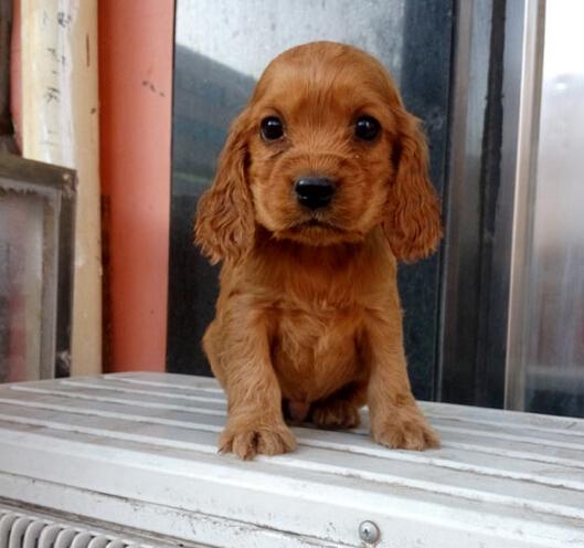 基地出售赛级品相可卡幼犬美卡保健康包纯种签质保