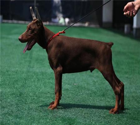 顶级繁殖基地引进名贵种公繁殖更优秀的 杜宾幼犬