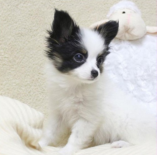 出售纯种高品质蝴蝶犬、蝴蝶幼犬 血统纯正 可来看狗!