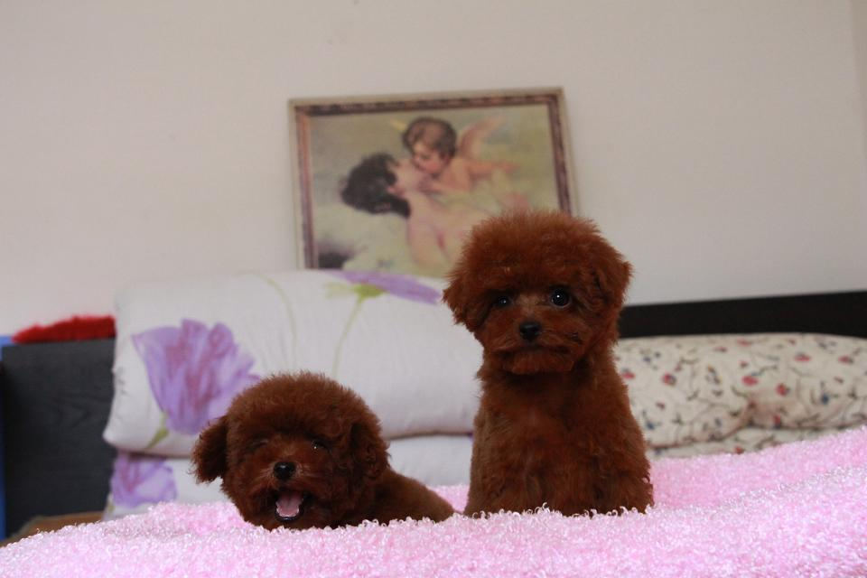 可爱韩系泰迪犬特价出售中 纯家养保证品质和健康4