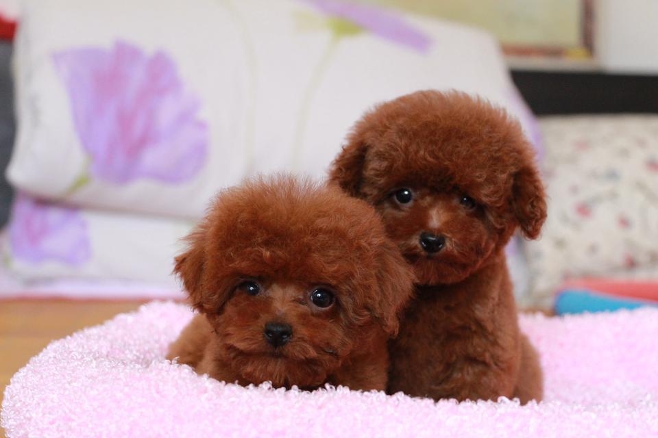 可爱韩系泰迪犬特价出售中 纯家养保证品质和健康2