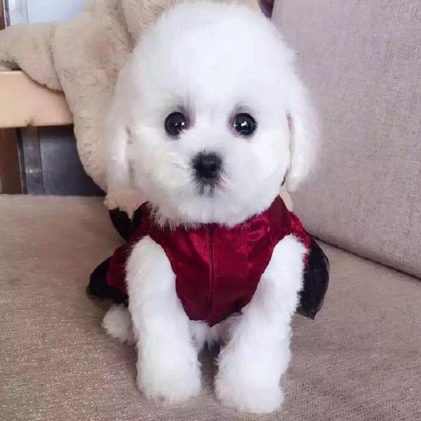可爱韩系泰迪犬特价出售中 纯家养保证品质和健康3