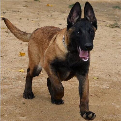 高品质马犬带血统出售中 终身质保 质量三包 可签协议