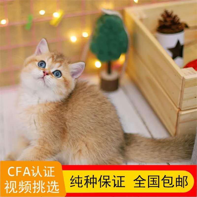 正规CFA猫舍 纯种英短猫 育苗齐全 包活签协议 送货上门