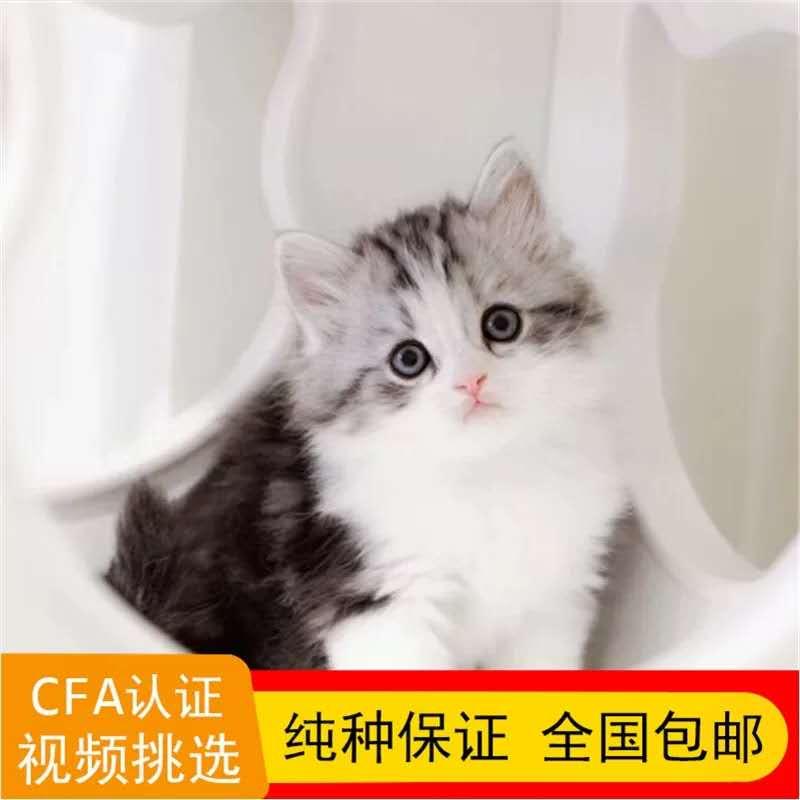 正规CFA猫舍 纯种美短猫 育苗齐全 包活签协议 送货上门