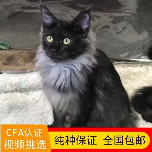 正规CFA猫舍 纯种缅因猫 育苗齐全 包活签协议 送货上门