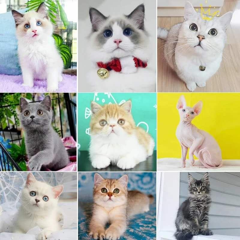 正规CFA猫舍 纯种育苗齐全 出售全品种猫咪活体2