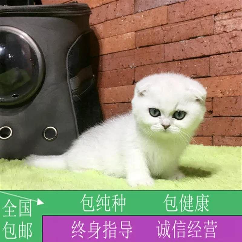 正规CFA猫舍 纯种折耳猫 育苗齐全 包活签协议 送货上门