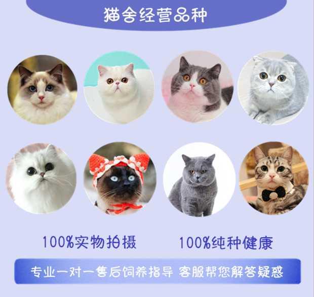 正规CFA猫舍 纯种育苗齐全 出售全品种猫咪活体6