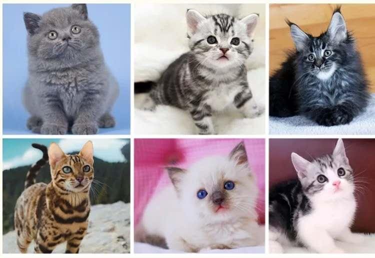 正规CFA猫舍 纯种育苗齐全 出售全品种猫咪活体4