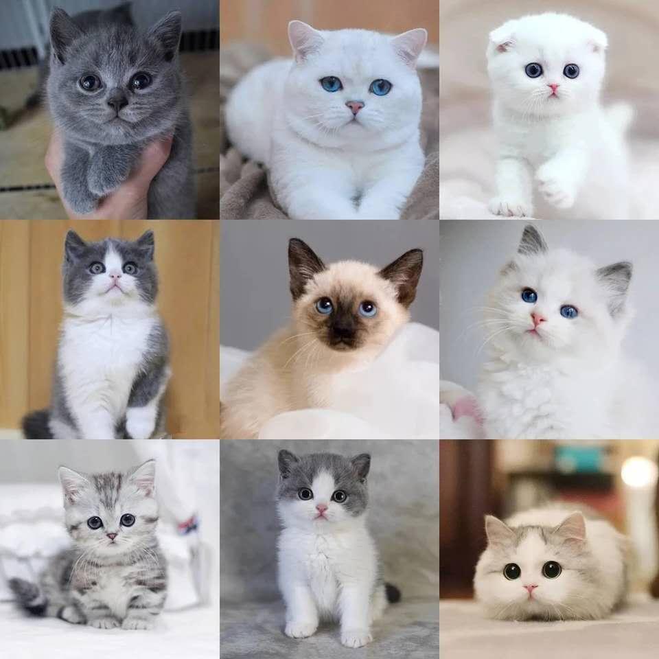 正规CFA猫舍 纯种育苗齐全 出售全品种猫咪活体1