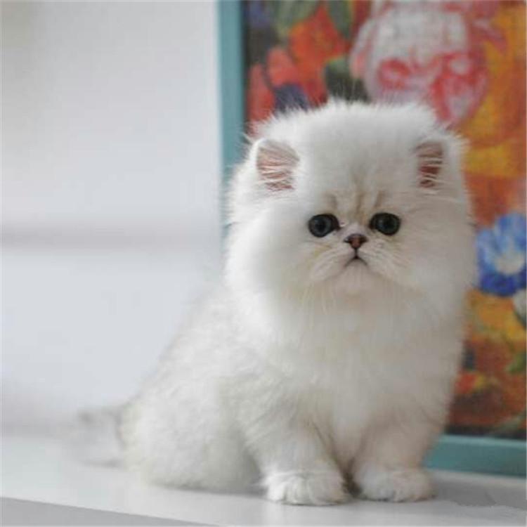 CFA认证 出售幼猫蓝眼金吉拉长毛猫纯种家养雪白