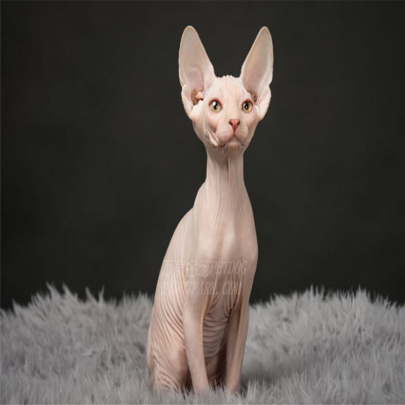 纯种加拿大无毛猫活体宠物猫纯种斯芬克斯猫无毛猫有猫纯种