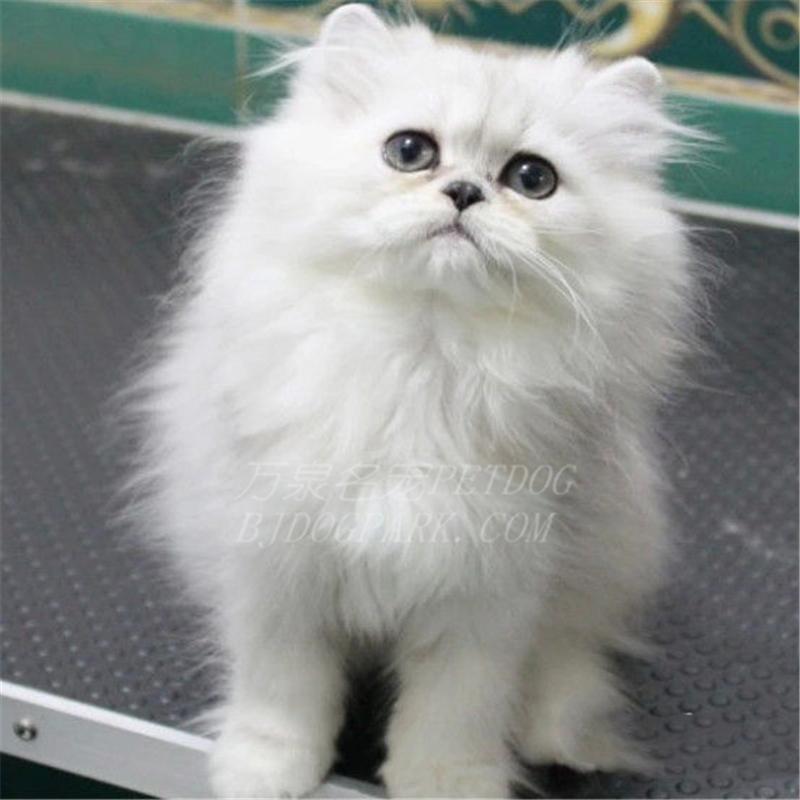 出售金吉拉纯种金吉拉幼猫长毛猫幼猫活体金吉拉幼猫