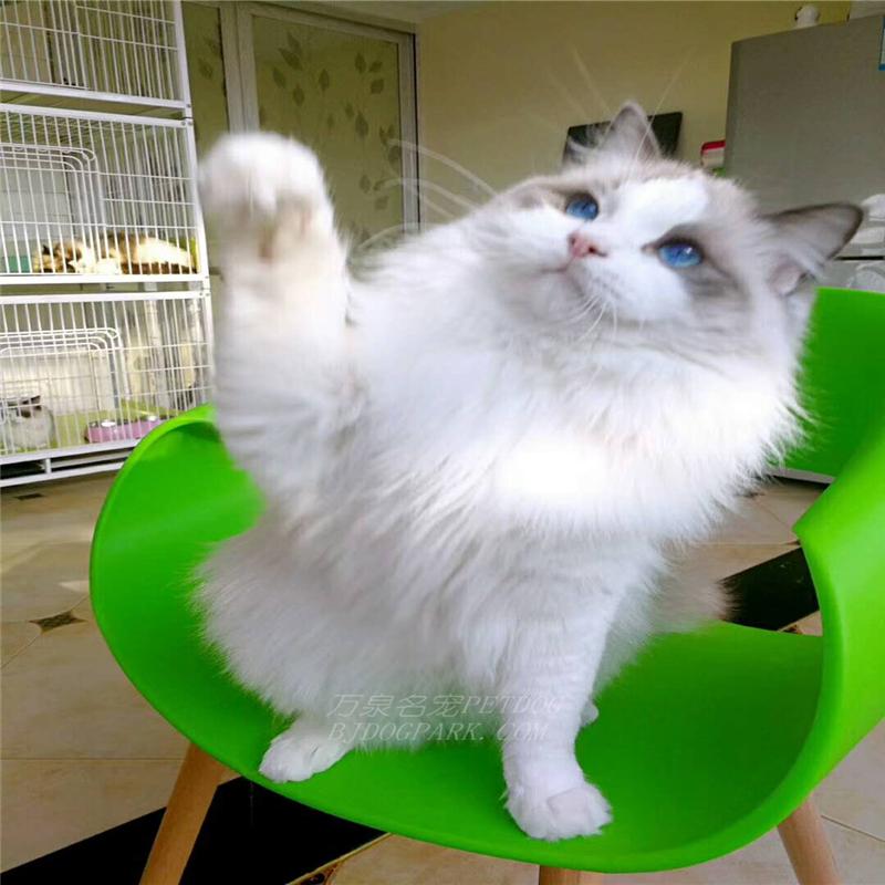 猫舍出售纯种布偶加菲英短美短包纯种包健康可签协议