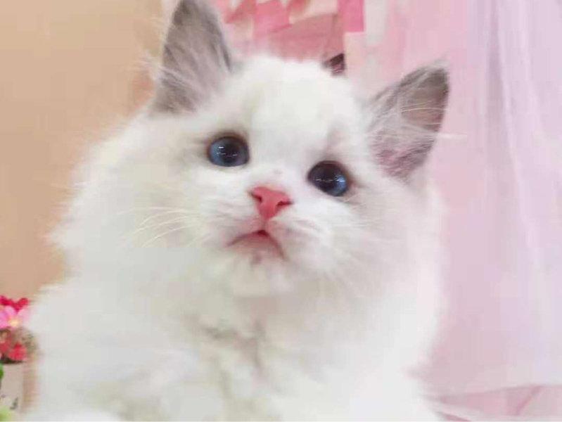 纯种布偶猫宝宝出售 无病无癣 血统纯正附近送货上门