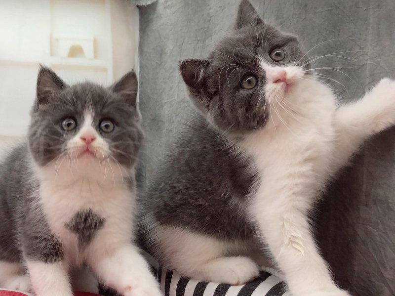 高品质纯种健康的蓝猫宝宝出售 专业繁殖蓝猫猫舍