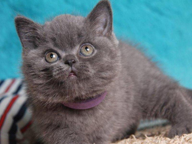 猫舍出售健康纯种的蓝猫宝宝 血统纯正签协议送货上门